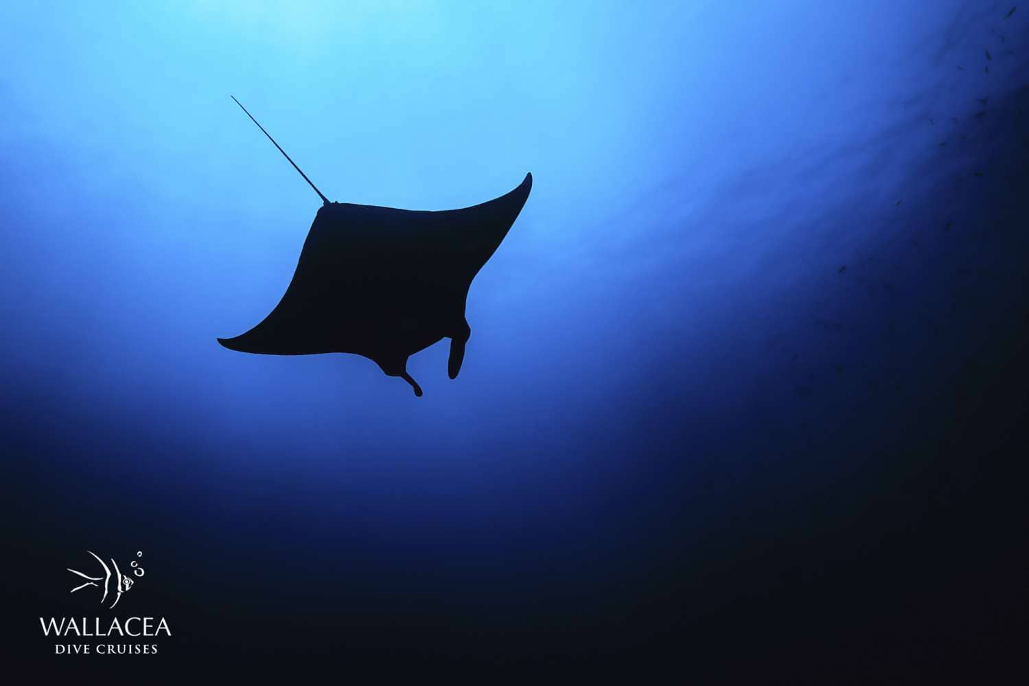 Raja Ampat Liveaboards - Manta ray spotted from below in Dampier Strait